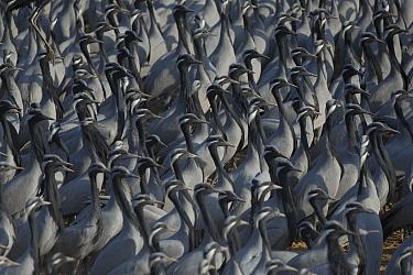Dense flock of Demoiselle cranes (Grus virgo) at Khichan during migration. India