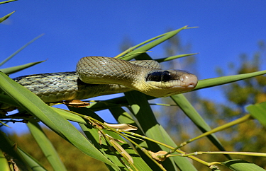 Beauty rat snake (Orthriophis taeniurus callicyanous) portrait, Captive.  Occurs in  Vietnam, Cambodia and Thailand.
