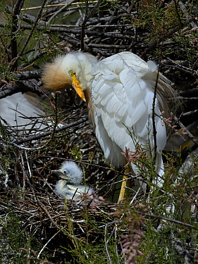 Western Cattle Egret (Bubulcus ibis) adult on the nest with chick, Camargue, France, May