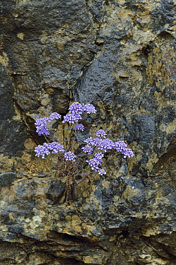 Candytuft flowers (Iberis) flowers, Gorges du Tarn,  France,  May