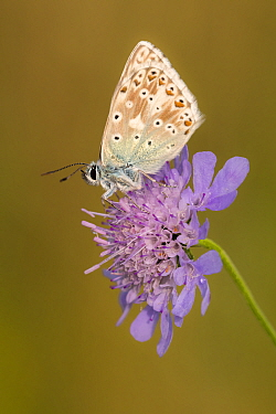 Male chalkhill blue butterfly (Lysandra coridon) with wings closed resting on Devils-bit scabious (Succisa pratensis), Hatch Hill, Somerset, UK. August 2016.