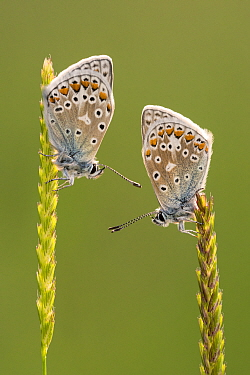 Common blue butterflies (Polyommatus icarus) resting on grasses, Vealand Farm, Devon, UK. June 2017