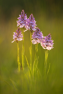 Common spotted orchids (Dactylorhiza fuchsii), backlit, Volehouse nature reserve, Devon, UK, June 2017.