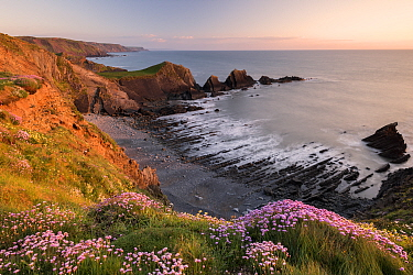 Pink thrift (Armeria maritima) growing along the coastal cliff tops, Hartland Quay, North Devon, UK. May 2017.