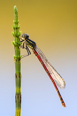Large red damselfly (Pyrrhosoma nymphula) resting on common horsetail, Broxwater, Cornwall, UK. April 2017.