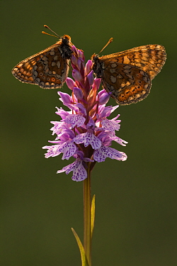 Marsh fritillaries (Euphydryas aurinia) resting on spotted heath orchid (Dactylorhiza maculata), Dunsdon, near Holsworthy, Devon, UK. June 2016.