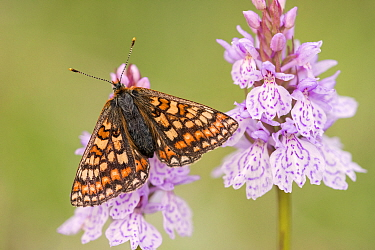 Marsh fritillary butterfly (Euphydrayas aurinia) on Spotted heath orchid (Dactylorhiza maculata), Dunsdon, near Holsworthy, Devon, UK. June 2017.