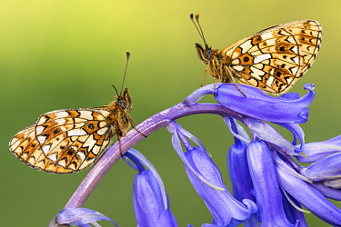 Two small pearl-bordered fritillary butterflies (Boloria selene) resting on bluebell, Marsland mouth, North Devon, UK. May 2017.