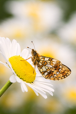 Small pearl-bordered fritillary (Boloria selene) butterfly on oxeye daisy (Leucanthemum vulgare), Marsland mouth, North Devon, UK. May 2017.