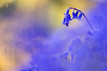 Bluebell (Hyacinthoides non-scripta) growing, Marsland Mouth, Devon Wildlife Trust, Devon, UK. April 2017.