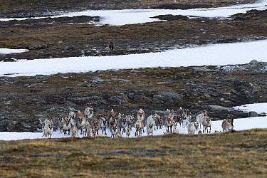 Wolverine (Gulo gulo)  chasing a Reindeer (Rangifer tarandus) herd in the Padjelanta National Park, Laponia World Heritage Site, Swedish Lapland, Sweden. December 2016.