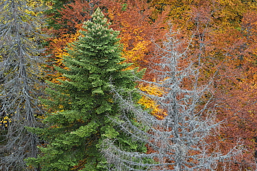 Mixed forest of Beech (Fagus syvatica) and Spruce (Picea abies) after a forest fire in August 2014. Belioara, Alba county, Transylvania, Romania. October 2011.