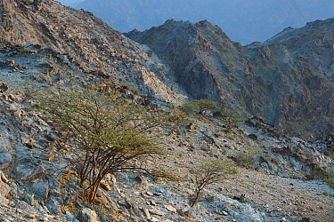 Solitary tree in dry mountain landscape. Sedimentary rocks in the Hajar Mountains. United Arab Emirates. November 2015.
