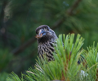 Spotted nutcracker, (Nucifraga caryocatactes) with beetle prey, Finland, July.