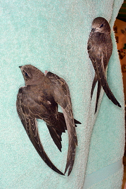 Orphaned Common swift chicks (Apus apus) reared to full size by Judith Wakelam in her home climbing up a towel as their ability to flap their wings is tested before being released, Worlington, Suffolk...