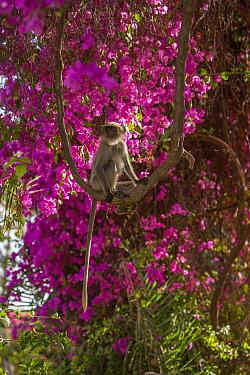 Hanuman Langurs (Semnopithecus entellus) in Bougainvillea  Mandore Garden, Jodhpur, India.