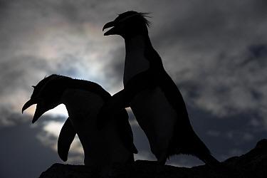 Snares crested penguin (Eudyptes robustus), Snares Island, (Tine Heke) Sub Antarctic Islands, New Zealand. December 2016.