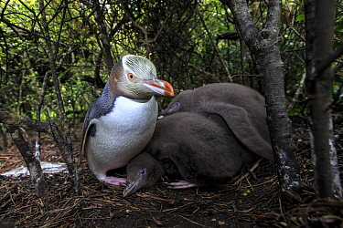 Yellow eyed penguin (Megadyptes antipodes) with chicks on Enderby Island, subantarctic Auckland Islands, New Zealand. January.