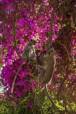 Hanuman Langurs (Semnopithecus entellus) in flowering Bougainvillea tree,  Mandore Garden, Jodhpur, India.