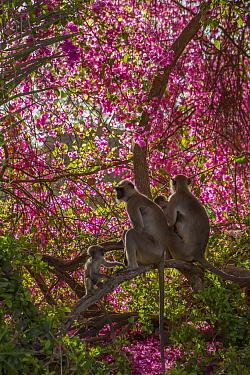 Hanuman Langurs (Semnopithecus entellus) in floweing Bougainvillea  Mandore Garden, Jodhpur, India.