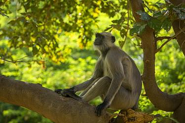 Hanuman Langurs (Semnopithecus entellus) sitting on branch, Mandore Garden, Jodhpur, India.