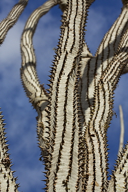 Octopus tree (Didiera madagascariensis), Spiny Forest, Berenty, Madagascar