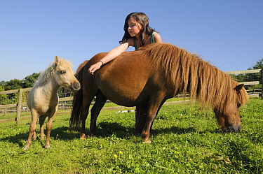 Girl reaching out to American miniature horse (Equus caballus) foal over the back of its mother as she grazes a grassy hillside paddock, Wiltshire, UK, July. Model released.