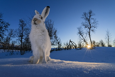 Mountain hares (Lepus timidus) in winter coat, Vauldalen, Norway. April. Third place of the Harmony of Life Category of the Golden Turtle Photography Awards 2017.