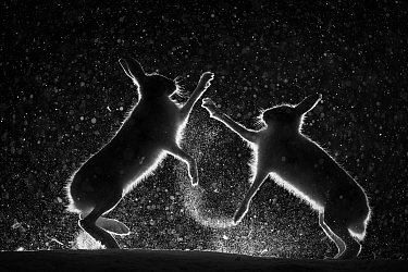 Mountain hares (Lepus timidus) fighting in snow at night, Vauldalen, Norway.  Joint overall winner of the GDT  European Wildlife Photographer of the Year 2017.  Highly commended in the Wildlife Photo...