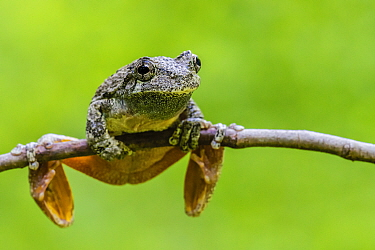 Grey tree frog (Hyla versicolor) Connecticut, USA, june.