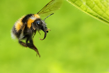 Garden bumblebee (Bombus hortorum), in flight,  Monmouthshire, Wales, UK, May.