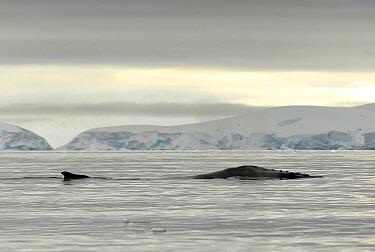 Humpback whale (Megaptera novaengliae) surfacing, Wilhelmina Bay, Gerlache Strait, Antarctic Peninsula, Antarctica