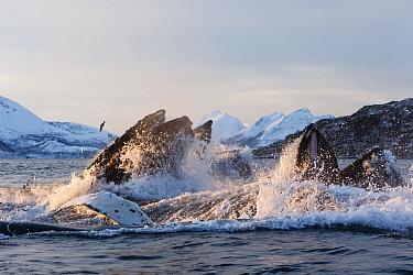 Humpback whales (Megaptera novaeangliae) feeding on Herring (Clupea harengus) Kvaloya, Troms, Northern Norway. November. Sequence 6 of 6.