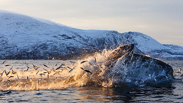 Hundreds of Herring (Clupea harengus) jumping out of the water to escape bubble-net feeding Humpback whales (Megaptera novaeangliae) attack from below. Kvaloya, Troms, Northern Norway. November. Seque...