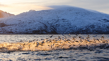 Hundreds of Herring  (Clupea harengus) jumping out of the water to escape bubble-net feeding Humpback whales (Megaptera novaeangliae) attack from below. Kvaloya, Troms, Northern Norway. November. Sequ...