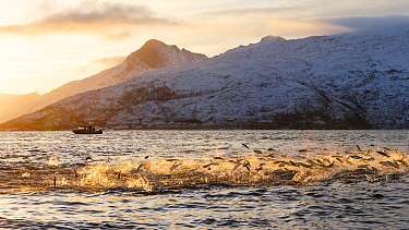 Hundreds of Herring (Clupea harengus) jumping out of the water to escape bubble-net feeding Humpback whales (Megaptera novaeangliae) attack from below. Boat in the background. Kvaloya, Troms, Northern...