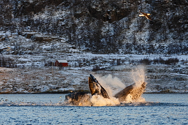 Humpback whales (Megaptera novaeangliae) feeding on Herring  (Clupea harengus) showing baleen plates. Herring jumping out of water to escape. Kvaloya, Troms, Northern Norway. November.