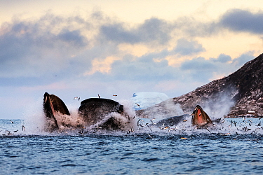 Hundreds of Herring  (Clupea harengus) jumping out of the water when bubble-net feeding Humpback whales (Megaptera novaeangliae) attack from below. Image showing the gap between the upper and lower ma...