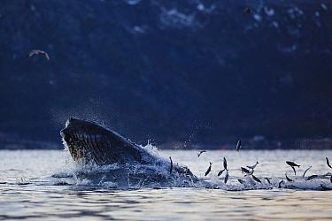 Humpback whale (Megaptera novaeangliae) feeding on Herring (Clupea harengus) with Herring jumping out of the water. Kvaloya, Troms, Northern Norway. November.