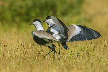 Spur-winged plovers (Hoplopterus spinosus) adults in courtship display, Lake Naivasha, Kenya