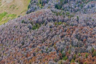 Dead White bark pine trees (Pinus albicaulis) killed by Mountain pine beetle (Dendroctonus ponderosa,)  Grand Teton National Forest, Wyoming, USA. The current outbreak of mountain pine beetles has bee...