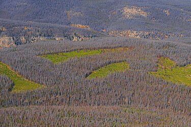 Aerial photograph of  Lodgepole Pine forest (Pinus contorta) with dead trees killed by Mountain pine beetle (Dendroctonud ponderosae)  Clear cut areas only have young trees. Granby, Colorado, USA. Oct...