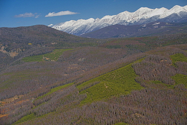Aerial photograph of  Lodgepole Pine forest (Pinus contorta) with many dead trees killed by Mountain pine beetle (Dendroctonus ponderosae) Granby, Colorado, USA. October. The current outbreak of mount...