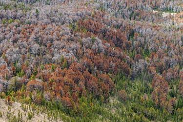 Dead White bark pine trees (Pinus albicaulis) killed by Mountain pine beetle (Dendroctonus ponderosae)  Grand Teton National Forest, Wyoming, USA. December. The current outbreak of mountain pine beetl...