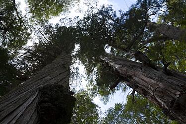 Looking up trunk of Alerce trees (Fitzroya cupressoides). Los Alerces National Park UNESCO World Heritage Site, Argentina.