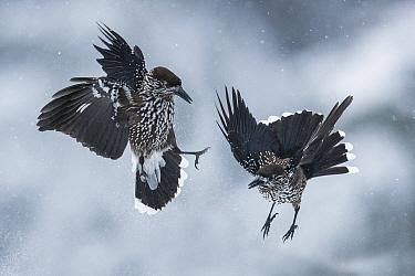 Spotted nutcrackers (Nucifraga caryocatactes) fighting in snow, Vitosha Mountain, Sofia, Bulgaria