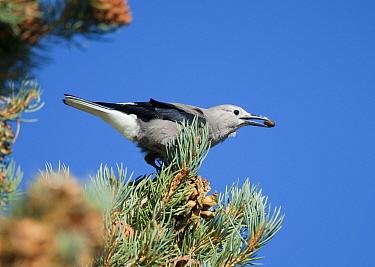 Clarks' Nutcracker (Nucifraga columbiana), gathering Pinyon Pine seeds, autumn, Mono Lake Basin, California, USA