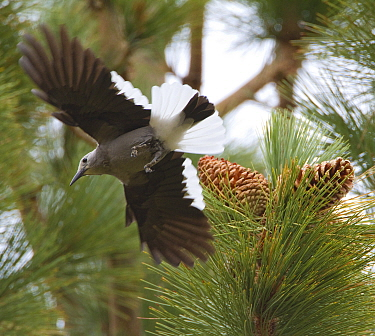 Clark's Nutcracker (Nucifraga columbiana), taking flight from Jeffrey Pine (Pinus jeffreyi) where it has been gathering pine seeds, autumn, Mono Lake Basin, California, USA