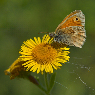 Small heath butterfly (Coenonympha pamphilus) on flower (Pulicaria), Vendee, France, September.