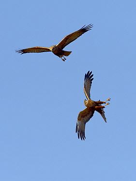 Two Western marsh harriers (Circus aeruginosus) interacting in midair, Marais Breton, Vend�e, France, February.